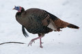 A wild turkey in snow walks thru fargo north dakota usa Stock Photography