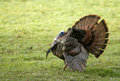Wild turkey spreading tail a tom meleagris gallopavo his to attract a hen Royalty Free Stock Images