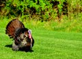 Wild turkey strutting in the spring mating season for a female Stock Images