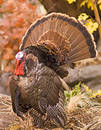 Wild Turkey Tom Stock Images