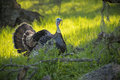 Wild Turkey Tom Royalty Free Stock Photo