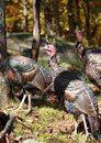 Wild turkey wilds turkeys in forest during fall Royalty Free Stock Photography