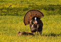 Wild Turkeys Stock Image