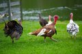 Wild Turkeys Royalty Free Stock Images