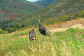 Wild turkeys. Royalty Free Stock Photo
