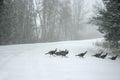 Wild Turkeys In Blizzard Royalty Free Stock Photo
