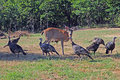 Wild turkeys and deer Stock Images
