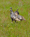 Wild turkeys in prairie grasses near zion national park utah Royalty Free Stock Photography