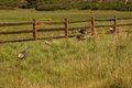 Wild turkeys in prairie grasses near zion national park utah Royalty Free Stock Image