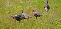 Wild turkeys in prairie grasses near zion national park utah Royalty Free Stock Images