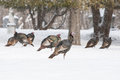 Wild turkeys in snow walk thru fargo north dakota usa Stock Photos