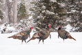 Wild turkeys in snow walk thru fargo north dakota usa Stock Photography