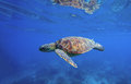 Wild turtle swimming underwater in blue tropical sea. Royalty Free Stock Photo