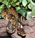 Wild Type Royal Python hatchling in foliage Royalty Free Stock Photo