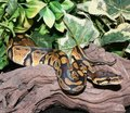 Wild Type Royal Python hatchling in foliage Royalty Free Stock Photo