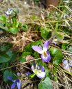 Wild violet Royalty Free Stock Photo