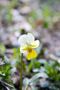 Wild violet pansy very common in the forests and fields of ukraine and russia Stock Photo
