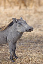 Wild warthog Stock Photography