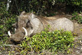 Wild warthog resting and smiling in addo national park Royalty Free Stock Images