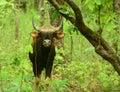 Wild water buffallo Royalty Free Stock Photo