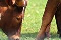 Wild watusi cattle Royalty Free Stock Photo