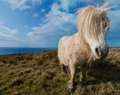 Wild white cornish pony a shetland stand next to the atlantic ocean in cornwall england Royalty Free Stock Images