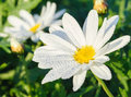 Wild white daisy flowers Royalty Free Stock Photo