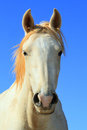 Wild White Horse Royalty Free Stock Photo