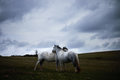 Wild white horse, on a welsh mountain near Llangorse lake Royalty Free Stock Photo