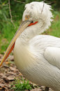 Wild white pelican calmly sitting in countryside Royalty Free Stock Photos
