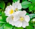 Wild white rose flowers, green bush Royalty Free Stock Photo