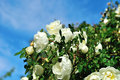 Wild white rose flowers of rosehip against blue sky flower summer landscape Royalty Free Stock Image