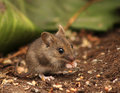 Wild wood mouse eating in natural environment Stock Images
