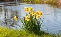 Wild yellow blooming daffodils on the ditch side in in grass Royalty Free Stock Image