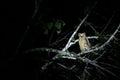 Wild yellow eye owl at night, Sukau Junction