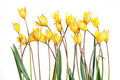 Wild yellow tulip flower Royalty Free Stock Photo