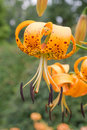 Wild yellow Turks Cap Lily Royalty Free Stock Photo