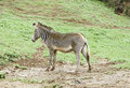 Wild zebras in the wild Royalty Free Stock Photo