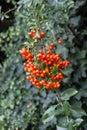 Wildberries from European rowan / Sorbus aucuparia