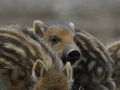Wildboar cup Royalty Free Stock Photo