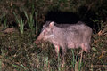 Wildboar in night wild boars are common herbivores sighted almost all forests of india they breed profusely and are a menace Royalty Free Stock Image