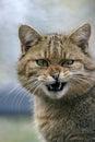 Wildcat european hissing portrait closeup Royalty Free Stock Photography