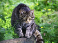 Wildcat in scotland uk europe scottish wildcats felis silvestris grampia have a bushy tail encircled with dark rings a wide flat Royalty Free Stock Photos