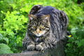 Wildcat in scotland uk europe scottish wildcats felis silvestris grampia have a bushy tail encircled with dark rings a wide flat Royalty Free Stock Photography