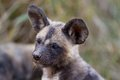 Wilddog in tanzania national park wild dog selous Royalty Free Stock Photos