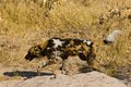 Wilddog in tanzania national park wild dog selous Stock Photo