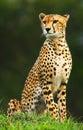 Wilde Afrikaanse jachtluipaard Royalty-vrije Stock Afbeeldingen