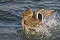 Wilde eend duck playfully splashing op het water Stock Afbeeldingen