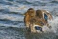 Wilde eend duck playfully splashing op het water Stock Fotografie