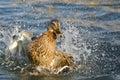 Wilde eend duck playfully splashing op het water Stock Foto